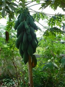 Eine reiche Ausbeute an diesem Papaya-Baum